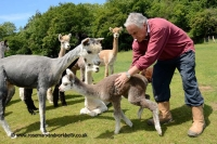 Bruce-Ives-checking-young-alpaca-Dunreyth-Alpacas